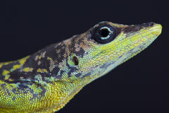 Barbados Anole / Anolis extremus Stock Photos