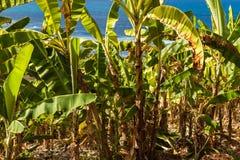Barbados. Banana plants along the roadside on the way to Bathsheba Beach in Barbados Royalty Free Stock Image