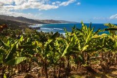 Barbados. Banana plants along the roadside on the way to Bathsheba Beach in Barbados Stock Image
