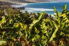 Barbados. Banana plants along the roadside on the way to Bathsheba Beach in Barbados Stock Photo