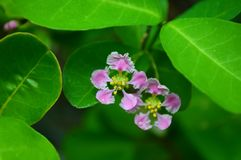 Barbados cherry flower Stock Image