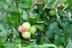 Barbados cherry, fresh Barbados cherry with raindrop.  Stock Photos