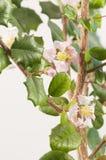 Barbados cherry (Malpighia oxycocca) flowers Stock Photography
