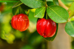 Barbados cherry on tree Stock Photo