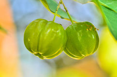 Barbados cherry on tree. Green Barbados cherry on tree in garden Royalty Free Stock Images