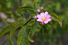 Barbados gooseberry. Latin name - Pereskia aculeata stock photos