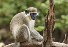 Barbados Green Monkey Royalty Free Stock Photo