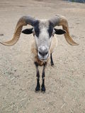 Barbados Horned Sheep Close-up. Malibu is a closely-knit residential community characterized by its carefully preserved rural atmosphere. Malibu`s combined Stock Photography
