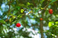 Barbados-Kirsche auf Baum Lizenzfreies Stockfoto