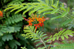 Barbados Pride. Barbados flower-fence, dwarf poinciana, paradise flower, small tree or shrub with bipinnate leaves and orange-red flowers in long racemes royalty free stock photo