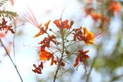 Barbados Pride, Pfau Blume (Caesalpinia pulcherrima (L ) Schalter etwas körniges) Stockbild