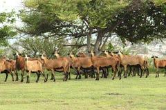 Barbados-Schwarz-Bauch-Schafe Lizenzfreie Stockfotografie