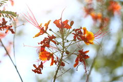 Barbados se enorgullecen, flor de pavo real (pulcherrima del Caesalpinia (L ) Interruptor ) Imagen de archivo