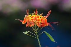 Barbados se enorgullecen o la flor de pavo real Foto de archivo libre de regalías