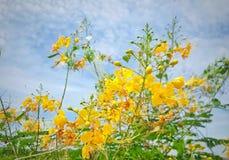 Barbados se enorgullecen son cerca fresca y medicinal de la flor y cielo azul imágenes de archivo libres de regalías