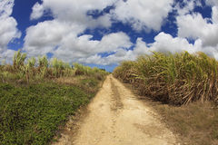 Barbados Sugar Cane Field. Landscape view of a sugar cane field in Barbados with dirt road and dramatic cloudscape above royalty free stock photos