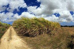 Barbados Sugar Cane Fields. Fisheye image of a sugar cane field in Barbados with a dramatic cloudscape above and a strong wind blowing the cane leaves royalty free stock photo