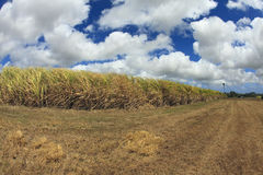 Barbados Sugar Cane Fields. Fisheye image of a sugar cane field in Barbados with a dramatic cloudscape above and a strong wind blowing the cane leaves stock images