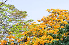 Barbadose自豪感树开花 免版税库存图片