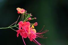 Barbadose stolthet Royaltyfria Bilder