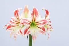 Barbadoslily kwiat Obraz Royalty Free