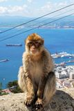 Barbape Ape, Gibraltar. Barbary Ape (Macaca Sylvanus) sitting on a wall near the top of the rock with the Mediterranean Sea and Spanish coastline to the rear Royalty Free Stock Images