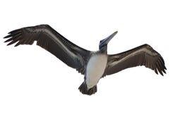 της Barbara ραμφών ο καφετής πελεκάνος πρωινού μαρινών φτερών Καλιφόρνιας κεντρικός παράκτιος πρώιμος εσκαρφάλωσε το santa αποβαθ Στοκ εικόνες με δικαίωμα ελεύθερης χρήσης
