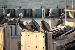 barbara belfra brąz California środkowy nabrzeżny wczesny piórek marina ranek pelikan umieszczał molo Santa Fotografia Royalty Free