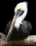 barbara belfra brąz California środkowy nabrzeżny wczesny piórek marina ranek pelikan umieszczał molo Santa Fotografia Stock