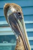 barbara belfra brąz California środkowy nabrzeżny wczesny piórek marina ranek pelikan umieszczał molo Santa Zdjęcie Royalty Free