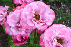 Barbara Streisand Rose. Pink roses named after the famous singer Royalty Free Stock Image