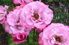 Barbara Streisand Rose Royalty Free Stock Image
