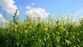 Barbarea vulgaris в ветре против красивого неба сток-видео