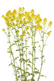 Barbarea vulgaris Royalty Free Stock Images