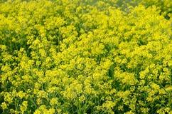 Barbarea vulgaris flowers Royalty Free Stock Image