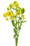 Barbarea vulgaris flowers Stock Image
