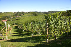 Barbaresco葡萄园- Langhe,山麓,意大利 免版税库存照片