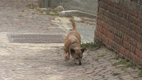 Barbaresco street with dog. Video of barbaresco street with dog stock footage