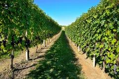 Barbaresco vingård - Langhe, piedmont, Italien Royaltyfria Foton