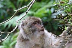 Barbarije macaque royalty-vrije stock afbeelding