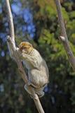 Barbarije Macaque stock afbeeldingen