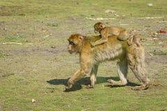 Barbarije macaque stock foto