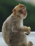 Barbarije Macaque Stock Foto's