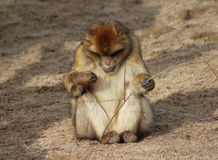 Barbarije macaque Royalty-vrije Stock Foto's