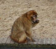 Barbarije macaque Royalty-vrije Stock Fotografie