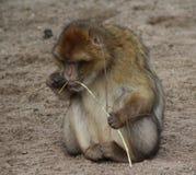 Barbarije macaque Royalty-vrije Stock Foto