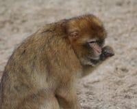 Barbarije macaque Stock Afbeelding