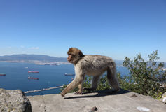 Barbarije macaque in Gibraltar Royalty-vrije Stock Foto