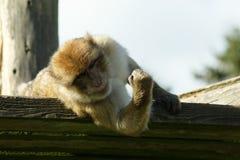 Barbarije Macaque die spieren tonen Stock Fotografie