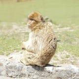 Barbarije macaque & x28; Macaca sylvanus& x29; Royalty-vrije Stock Afbeeldingen